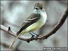 Flycatcher (Image: Mark Georgiou)