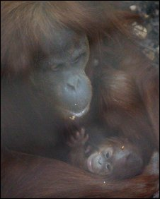 Orang-utan baby at Chester Zoo