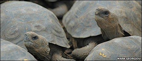 Galapagos tortoises (Mark Georgiou/BBC)