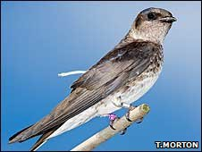 Purple martin (Image: Tim Morton)