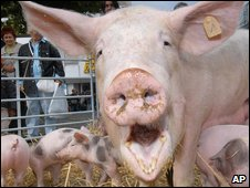 A sow with her piglets at a market