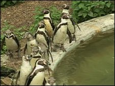 Penguins at Dudley Zoo - generic image