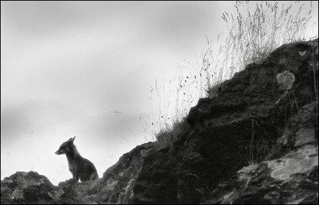 fox by Lee Ackerman