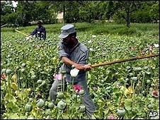 Afghan officers destroy opium poppies, 2007