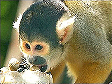 Squirrel monkey - generic image
