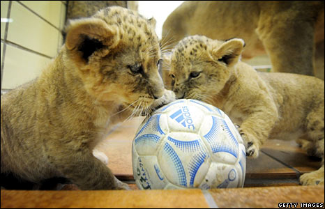 Two four-week-old baby lions at the zoo in Dortmund, Germany