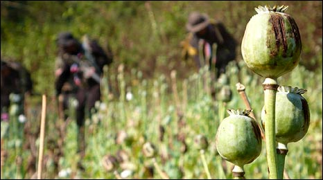 The Thai eradication force clear a field of opium poppies