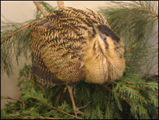Rescued bittern (Pic: RSPB)
