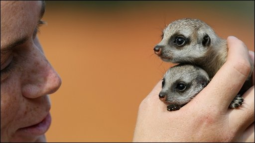 The meerkat pups, Nairobi (top) and Zanzibar