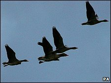 Geese flying in England