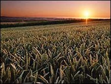 Grainfield at sunrise