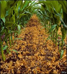 Herbicide resistant maize (Image: SPL)