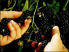 Archive photo of marionberries, courtesy of Oregon Department of Agriculture