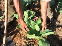 Cultivador de tabaco