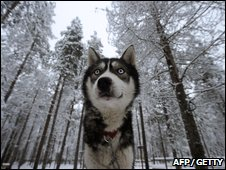 Husky (AFP/Getty)