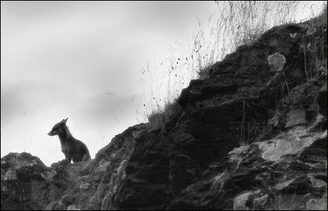 quarry fox