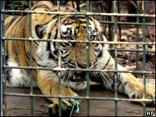 A wild Sumatran tiger caught by park rangers in Jambi province, Indonesia, on 11 February 2009