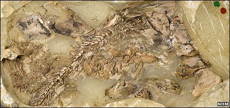 Fossil (NHM)