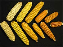 Variedades de maíz (FOTO: Catherine Bermudez)