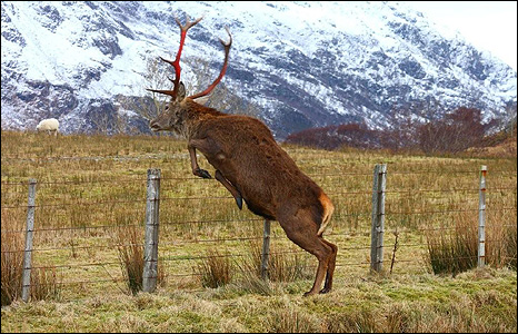 Stag jumping over fence