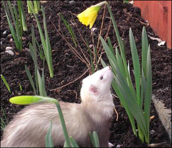 Phoebe the ferret appreciates the first daffodil to bloom in the garden. Picture from Alan in Llanharan, Rhondda Cynon Taf.
