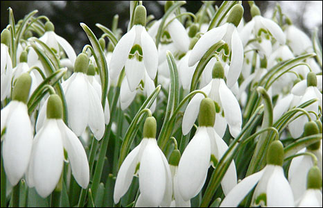 The sight of snowdrops means that winter is coming to an end.