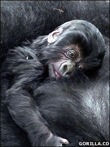 Baby gorilla in Virunga National Park (file photo courtesy of Gorilla.cd)