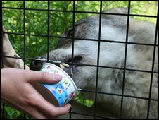 Hand-reared wolf eating ice cream