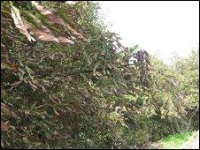 Avocado grove with salt burn, Photo: Sarah Wynn