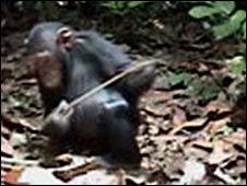 Chimp fishing (Royal Society)