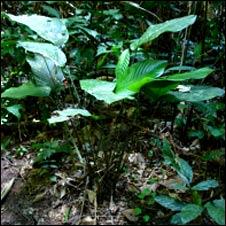 Marantaceae plant