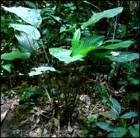 Planta de Marantaceae