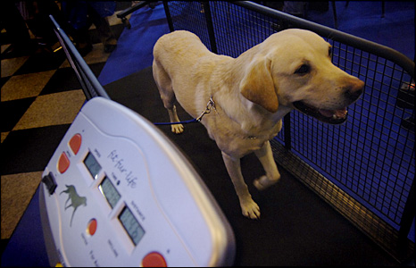 A labrador on a dog treadmill