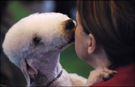 Bedlington terrier and its owner