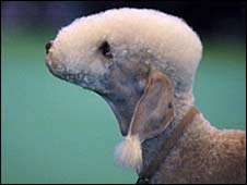 Dog at Crufts