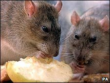 Rats eating (file image_