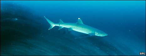 Reef shark (SPL)