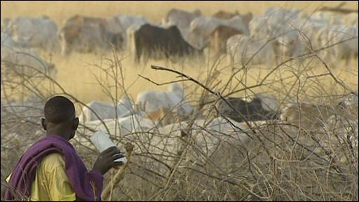 Nyangatom cattle