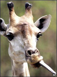 Giraffe at Bangkok's Dusit Zoo, Thailand, 10 March 2009