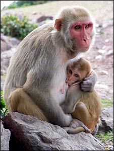 Rhesus macaque mother and baby (Stuart Semple)