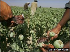 Harvesting Afghan opium, file picture