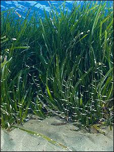 Seagrass (Image: BBC)