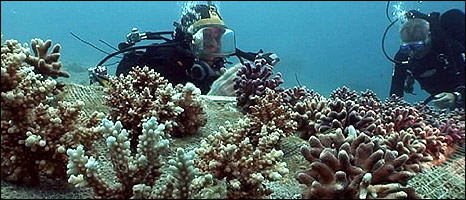 Coral &quot;nursery&quot; (Image: BBC)