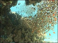 Coral (Image: BBC)