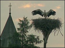Stork astride nest in Poland