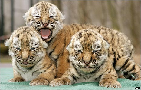 Three Siberian tiger babies cuddle in the zoo of Leipzig