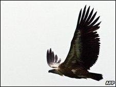 Griffon vulture, file image