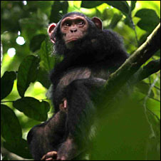 Goualougo Triangle chimp (Crickette Sanz)