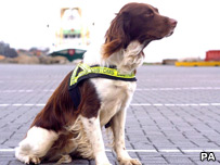 Dillon, a Customs sniffer dog
