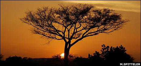 Acacia tree (Image: Miranda Spitteler/Tree Aid)